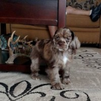 Allie- Chocolate Merle Cocker Spaniel