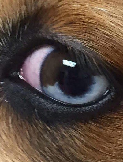 Blue Merle eye