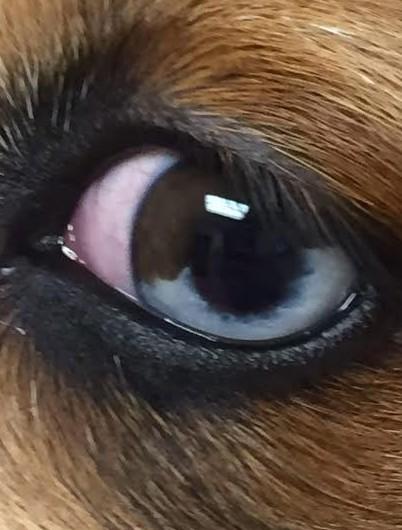 Blue Merle eye