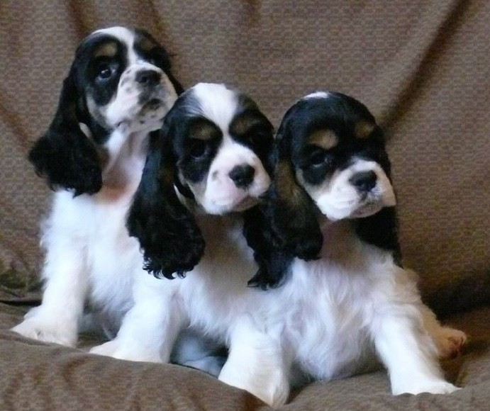 Tri Color Cocker Spaniel Puppies - Kissy in the middle