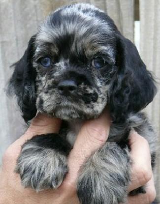 ChilixEbby puppy