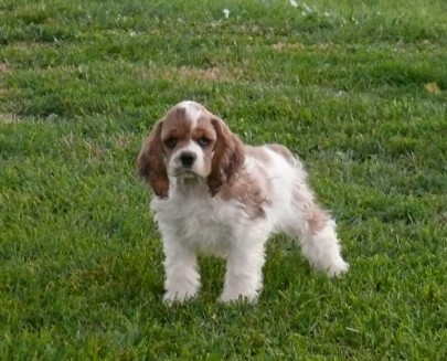Sable Merle Cocker Spaniel
